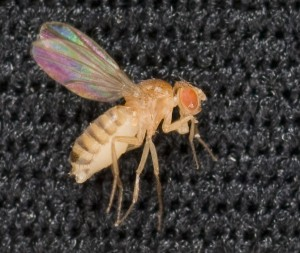 Drosophila melanogaster, the common fruit fly and model organism as posted on Spaceflight Insider